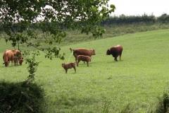 Meerssen-Raar-029-Limousin-koeien-en-stier