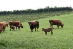 Meerssen-Raar-032-Limousin-koeien-en-stier