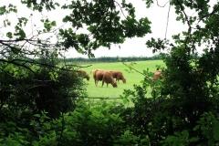 Meerssen-Raar-035-Limousin-koeien-en-stier