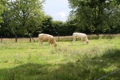 Reijmerstok-003-Belgische-vleeskoeien
