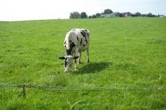 Remersdaal-077-Zwartbonte-koe