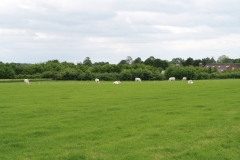 Sibbe-050-Weiland-met-witte-koeien