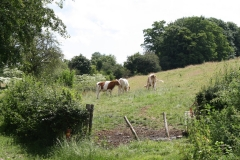 Sint-Geertruid-Moerslag-108-Koeien