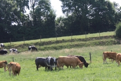 Spaubeek-018-Zwartbonte-Belgische-blauwe-en-limousin-koeien