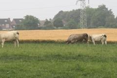 Spaubeek-079-Charolais-koeien