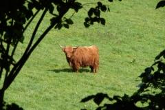 Thull-070-Schotse-hooglander-in-Schinnen