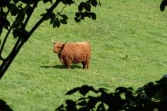 Thull-071-Schotse-hooglander-in-Schinnen