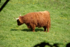 Thull-072-Schotse-hooglander-in-Schinnen