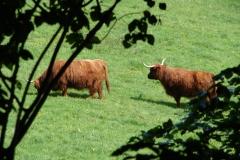 Thull-073-Schotse-hooglanders-in-Schinnen