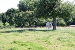 Trintelen-Eys-023-Piëmontese-koe-in-de-schaduw-van-een-boom