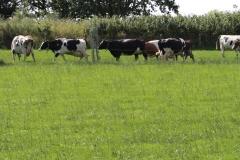 Trintelen-Eys-105-Zwartbonte-en-roodbonte-koeien