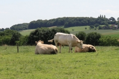 Ubachsberg-Winthagen-Colmont-052-Blonde-dAquitane-Koeien