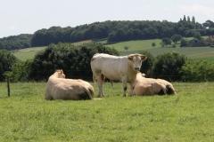 Ubachsberg-Winthagen-Colmont-053-Blonde-dAquitane-Koeien