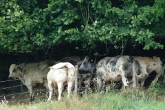 Ulestraten-en-Waterval-001-Belgische-blauwe-koeien-in-de-schaduw