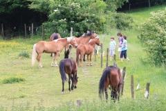 Daniken-040-Kinderen-voeren-bijtende-paarden