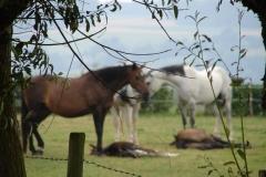 Eyser-Bosschen-005-Paarden
