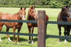 Genhout-023-Paarden