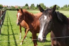 Genhout-025-Paarden