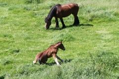 Geverik-en-Beek-022-Belgisch-paard-met-veulen