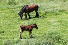Geverik-en-Beek-023-Belgisch-paard-met-veulen