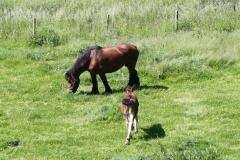 Geverik-en-Beek-024-Belgisch-paard-met-veulen