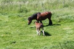 Geverik-en-Beek-025-Belgisch-paard-met-veulen