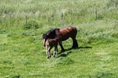 Geverik-en-Beek-026-Belgisch-paard-met-veulen