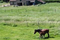 Geverik-en-Beek-030-Belgisch-paard-met-veulen