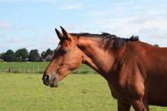 Hulsberg-Arensgenhout-007-Paard
