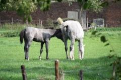 Kerkrade-006-Andalusiër-paarden