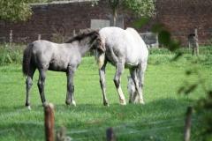 Kerkrade-008-Andalusiër-paarden