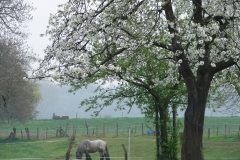 Maasband-16-Bloesem-Paard