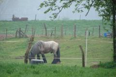 Maasband-17-Bloesem-Paard