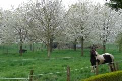 Maasband-52-Bloesem-Paard