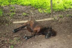 Sweijkhuizen-039-Liggende-pony
