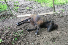 Sweijkhuizen-040-Liggende-pony
