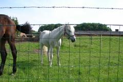 Thull-086-Paarden