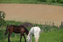 Thull-088-Paarden