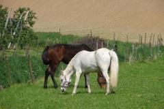 Thull-089-Paarden