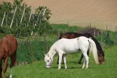 Thull-090-Paarden