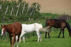 Thull-091-Paarden