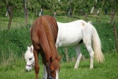 Thull-092-Paarden