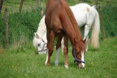 Thull-093-Paarden