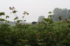 Wahlwiller-Paarden-2